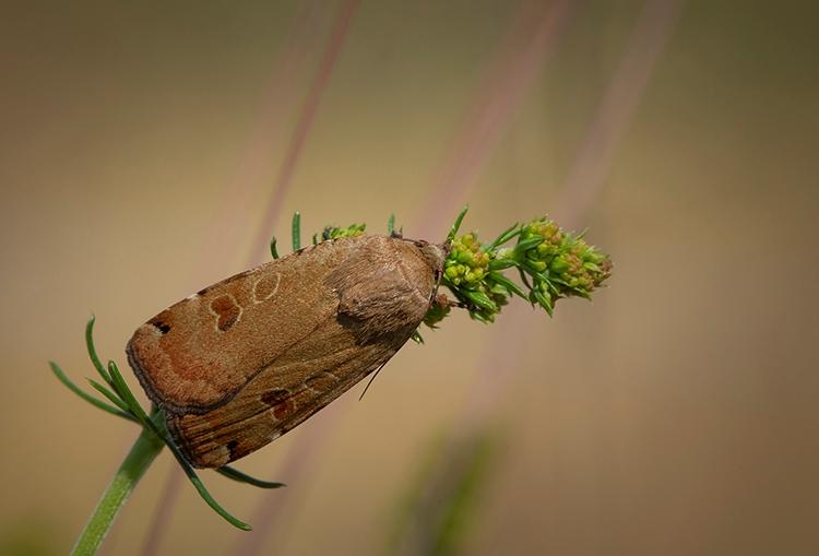 Foto/billede af Skarpskygget Smutugle (Noctua orbona)