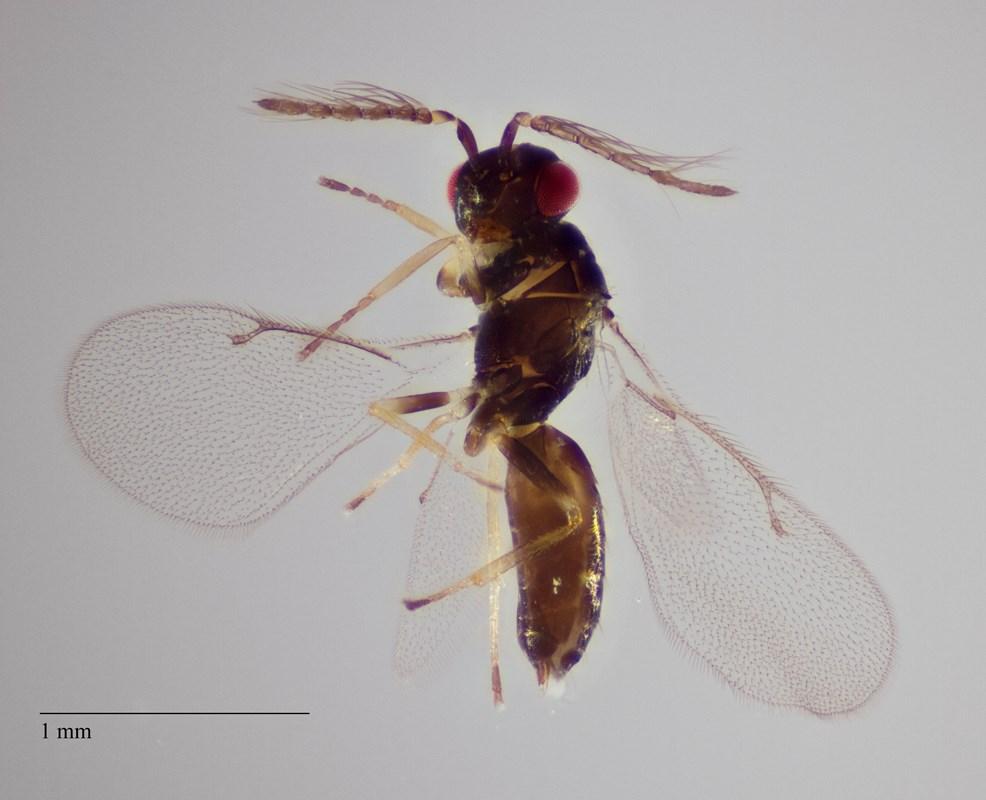 Aprostocetus micantulus