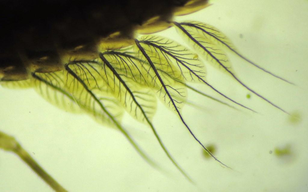 Foto/billede af Leptophlebia marginata (Leptophlebia marginata)
