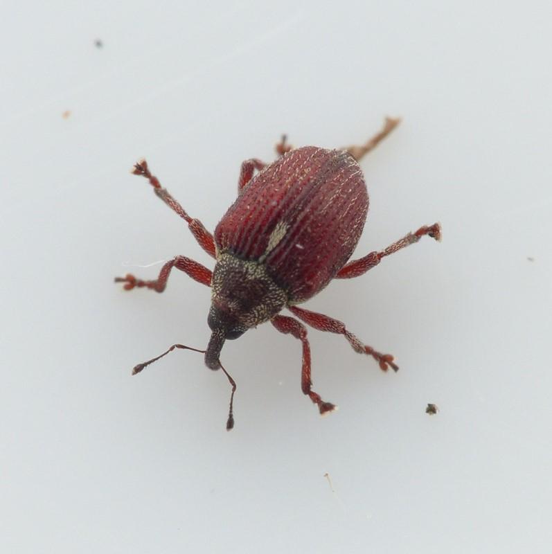 Coeliodinus rubicundus