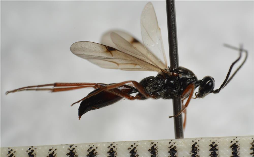Proctotrupes bistriatus (Proctotrupes bistriatus)