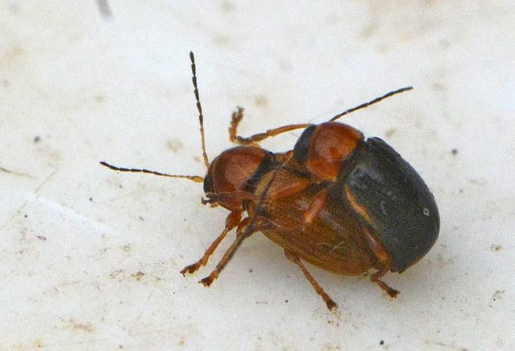 Cryptocephalus pusillus (Cryptocephalus pusillus)