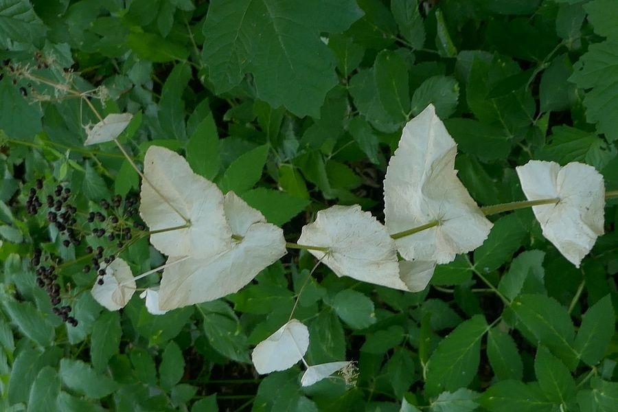Foto/billede af Lundgylden (Smyrnium perfoliatum)