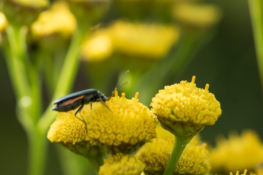 Foto/billede af Matgrøn Solbille (Oedemera virescens)