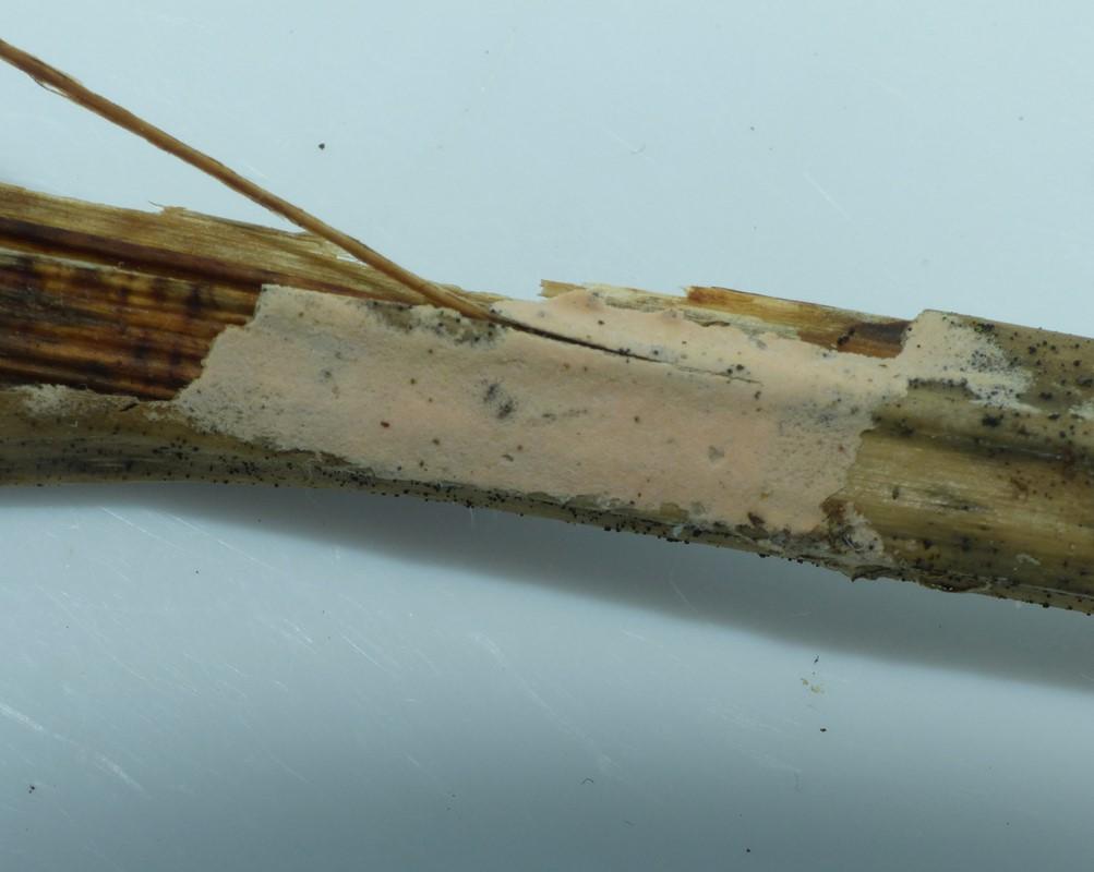 Foto/billede af Erythricium laetum (Erythricium laetum)
