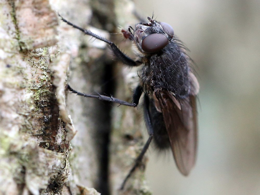 Foto/billede af Pollenia angustigena (Pollenia angustigena)