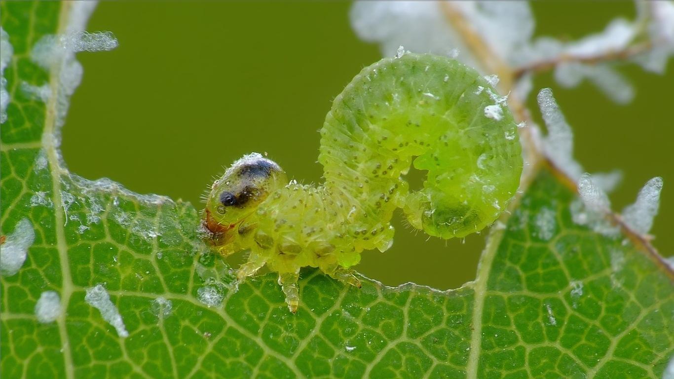 Stauronematus platycerus