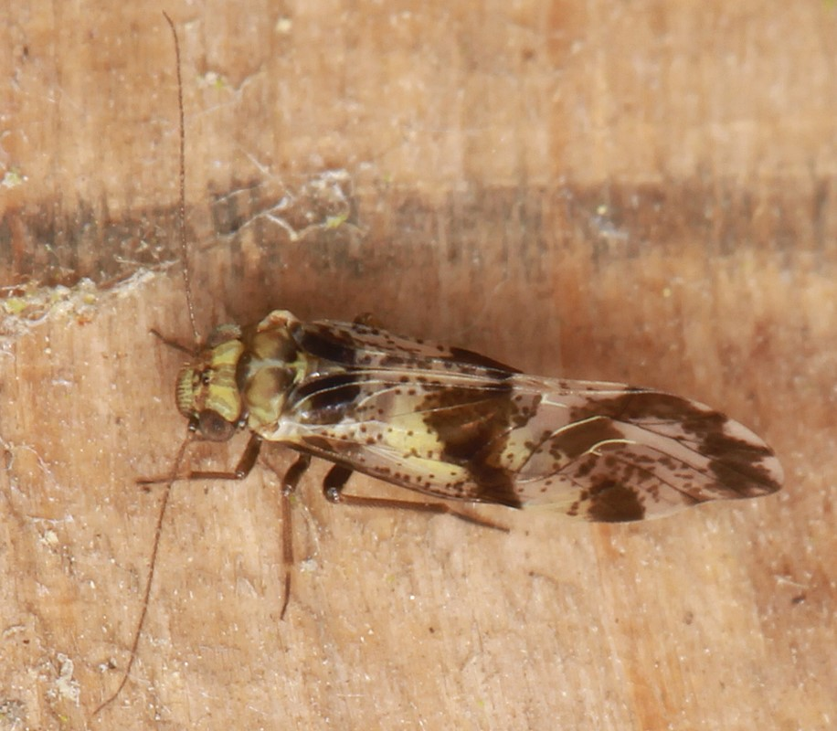Foto/billede af Loensia fasciata (Loensia fasciata)