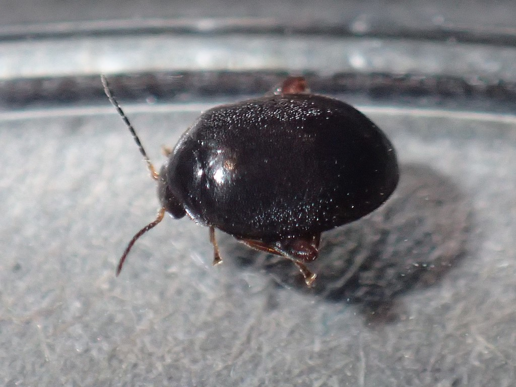 Foto/billede af Scirtes hemisphaericus (Scirtes hemisphaericus)