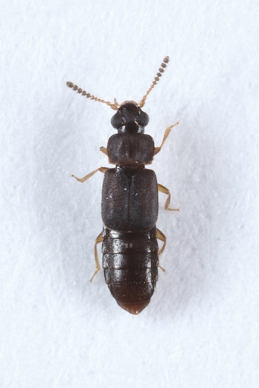 Phloeonomus pusillus