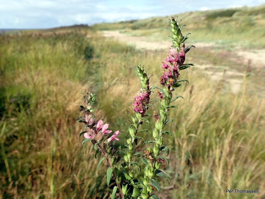 Foto/billede af Strand-Rødtop (Odontites litoralis)