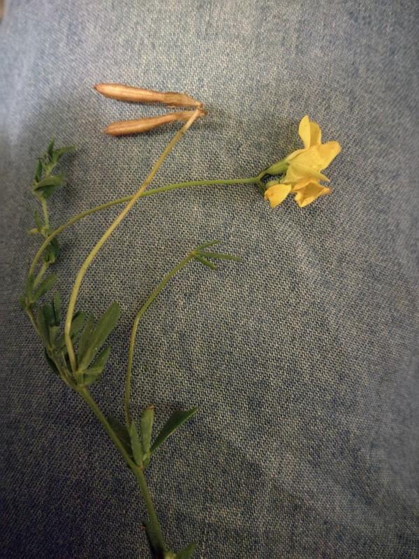 Foto/billede af Smalbladet Kællingetand (Lotus tenuis)
