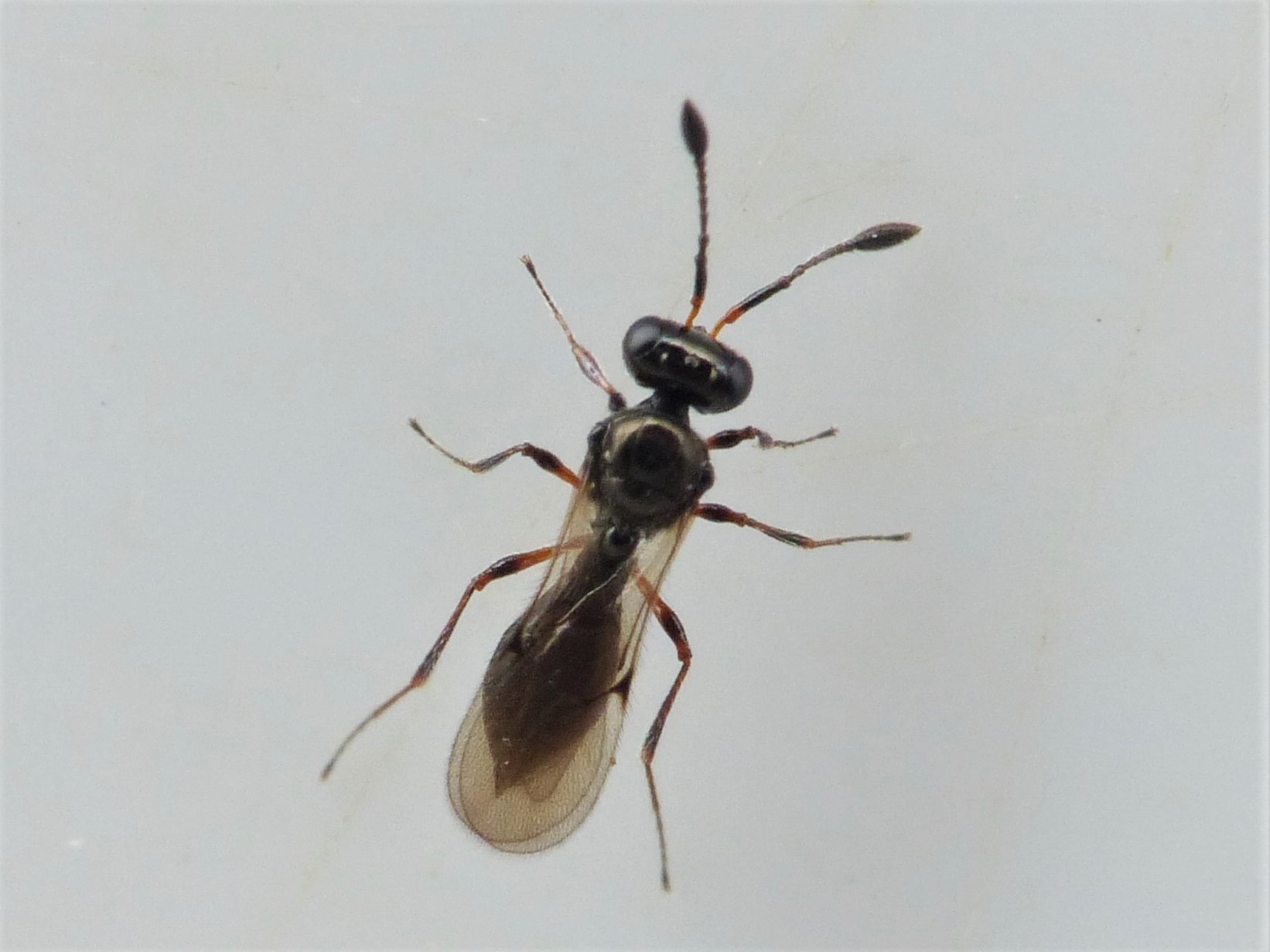 Thoron metallicus (Thoron metallicus)