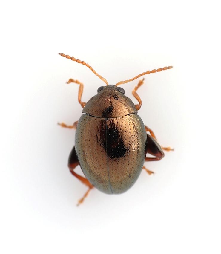 Apteropeda orbiculata (Apteropeda orbiculata)