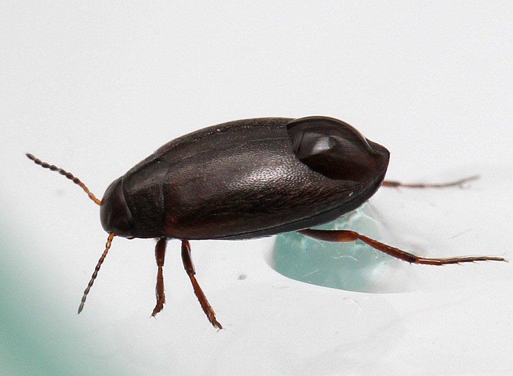 Hydroporus pubescens (Hydroporus pubescens)