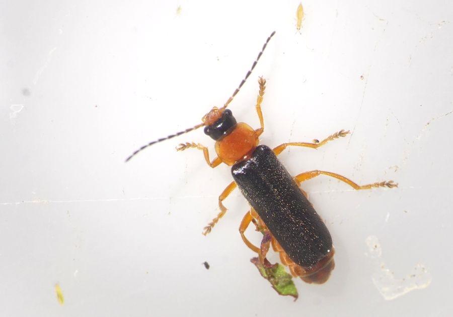 Foto/billede af Cantharis nigra (Cantharis nigra)