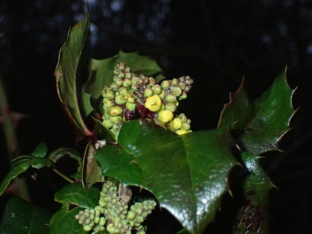 Mahonie (Mahonia aquifolium)