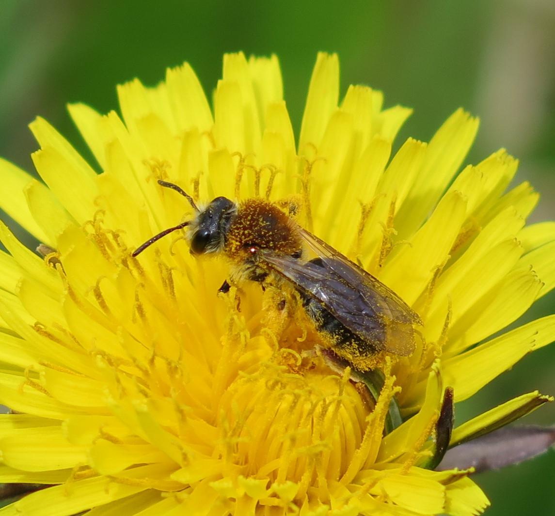 Foto/billede af Rødhalet Jordbi (Andrena haemorrhoa)
