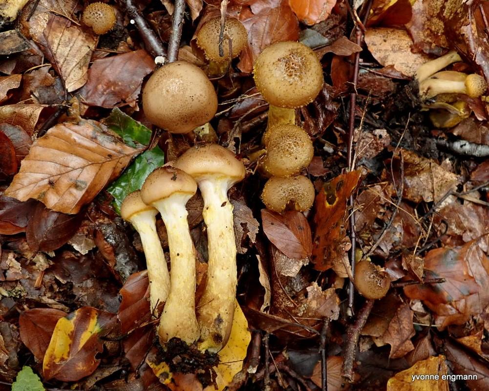 Køllestokket Honningsvamp (Armillaria lutea)