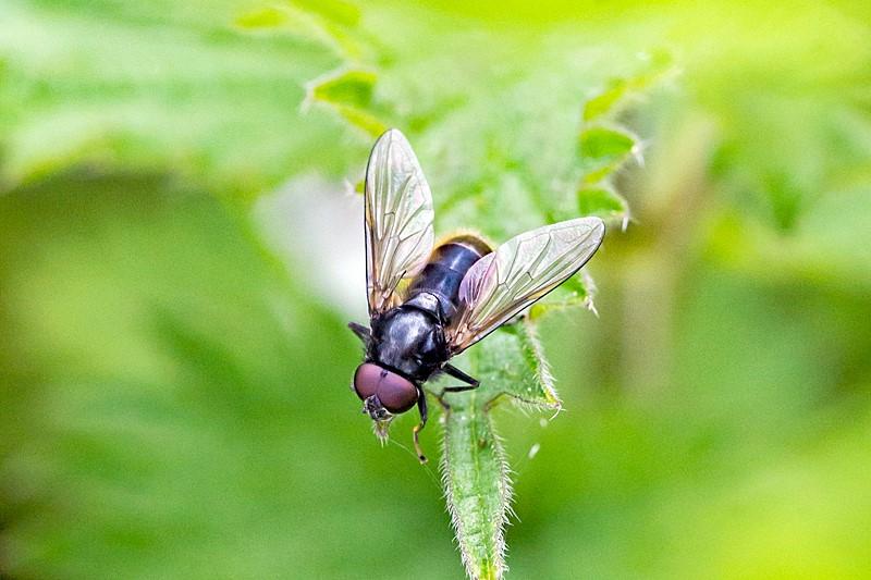 Hvidfodet Urtesvirreflue (Cheilosia albitarsis)