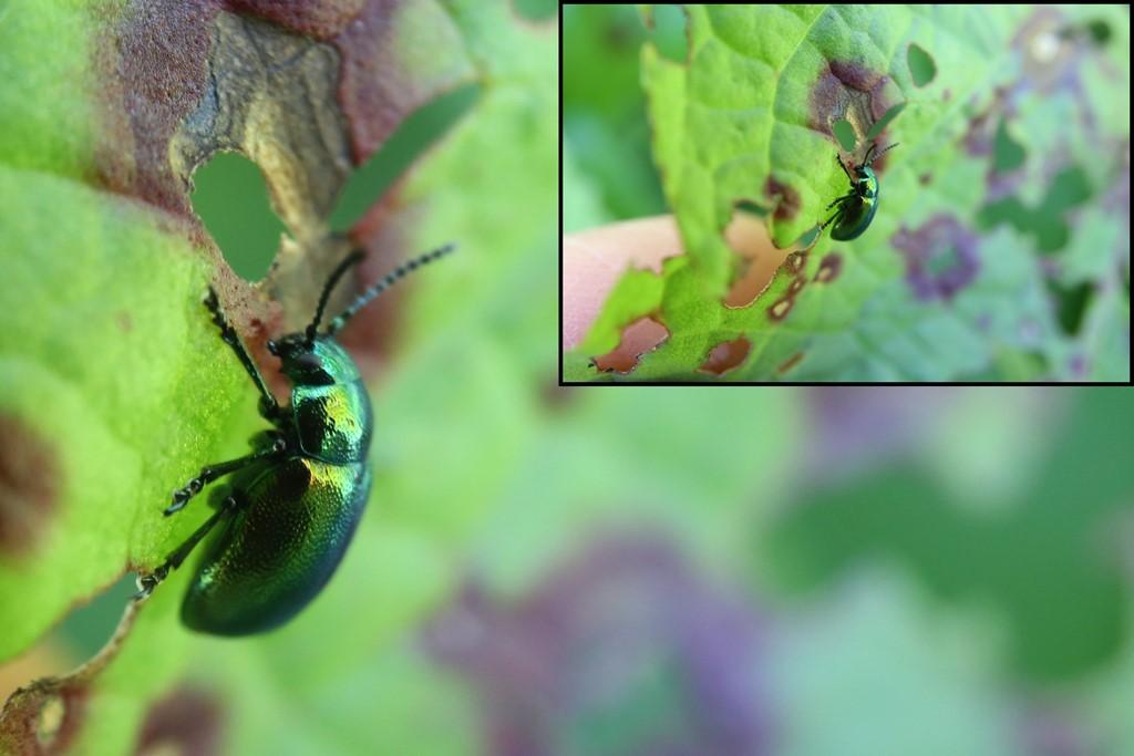 Foto/billede af Skræppebladbille (Gastrophysa viridula)