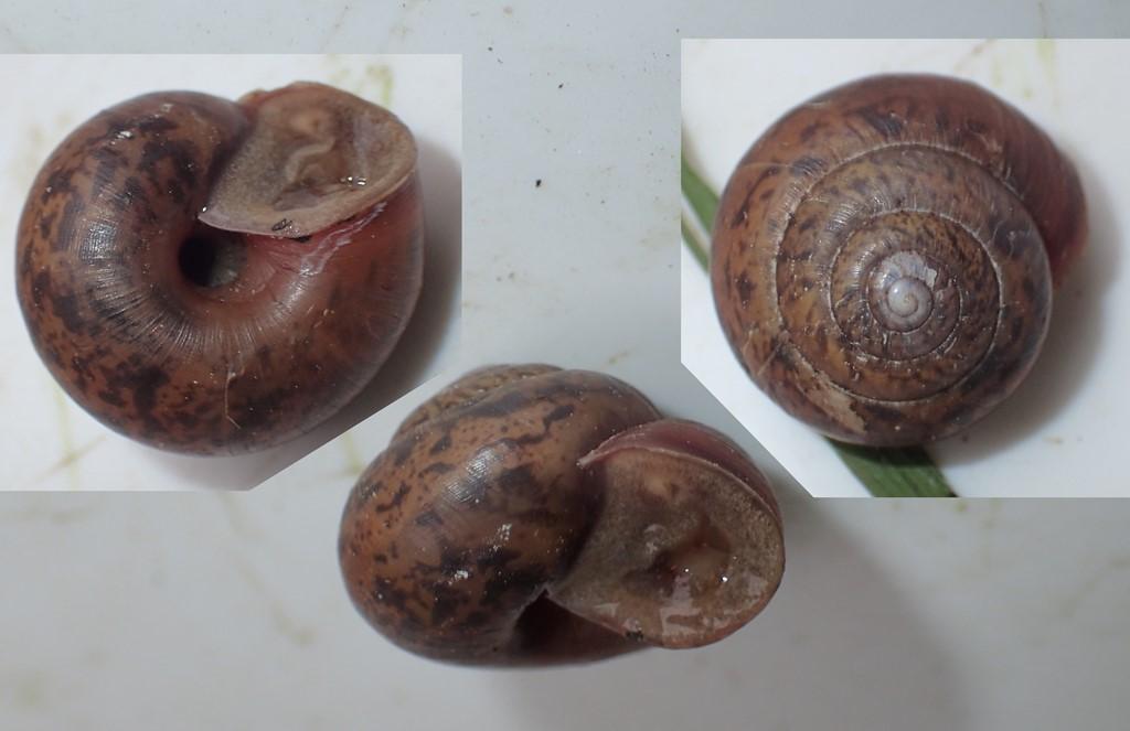 Foto/billede af Kratnøddesnegl (Euomphalia strigella)
