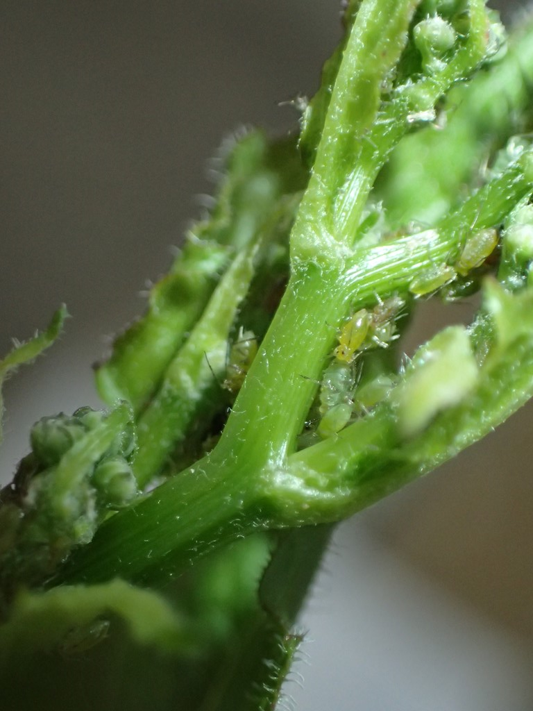 Foto/billede af Ferskenbladlus (Myzus persicae)