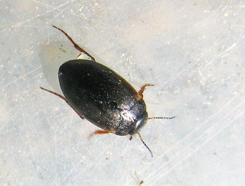 Hydroporus sp. (Hydroporus sp.)