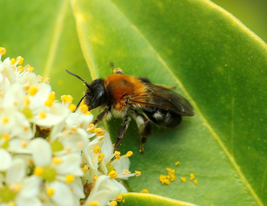 Foto/billede af Glinsende Jordbi (Andrena nitida)