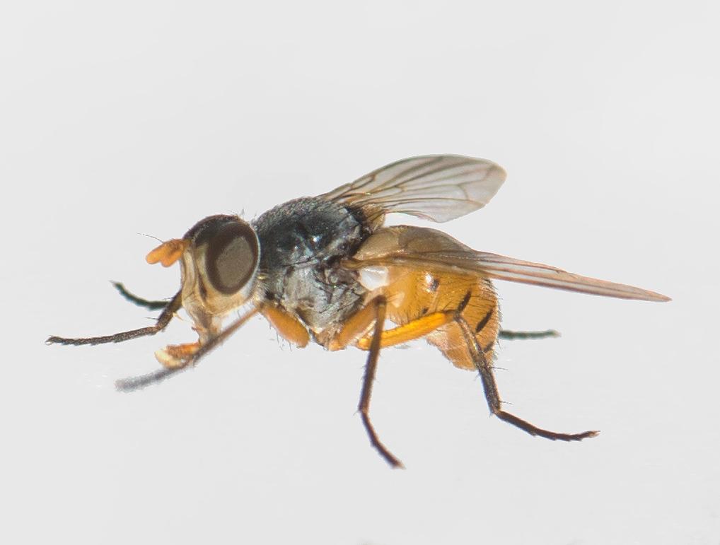 Subclytia rotundiventris (Subclytia rotundiventris)