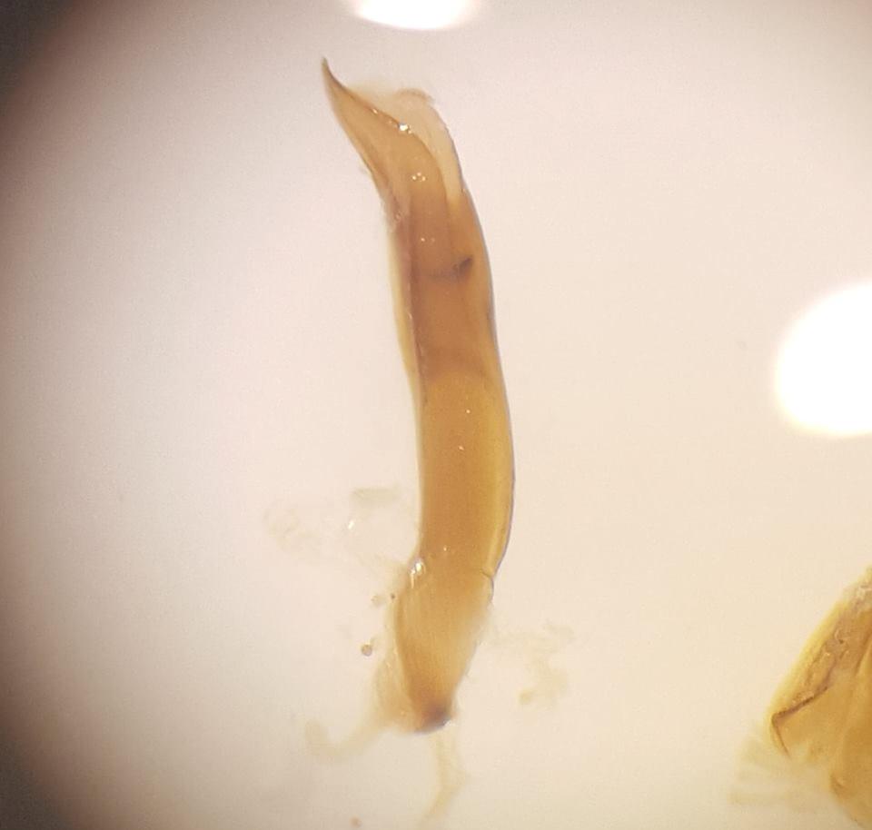 Asiorestia interpunctata (Neocrepidodera interpunctata)