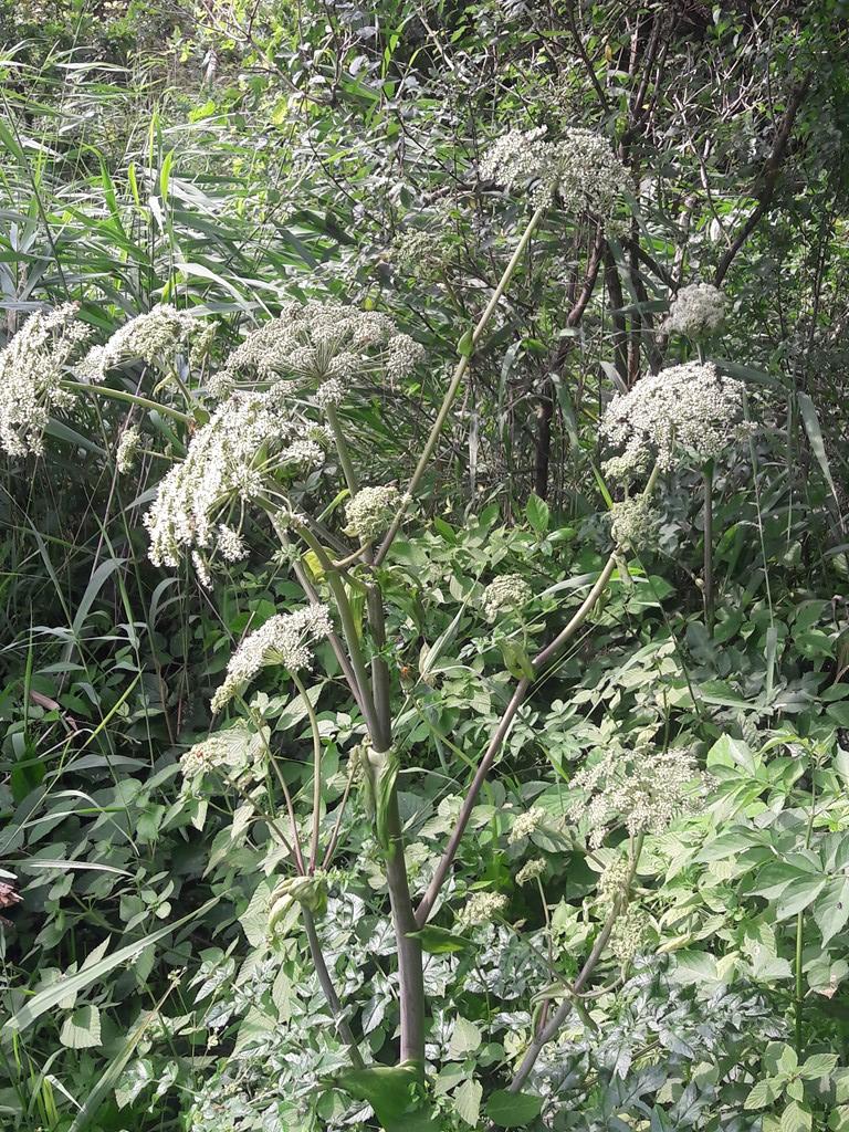 Foto/billede af Strand-Kvan (Angelica archangelica ssp. litoralis)