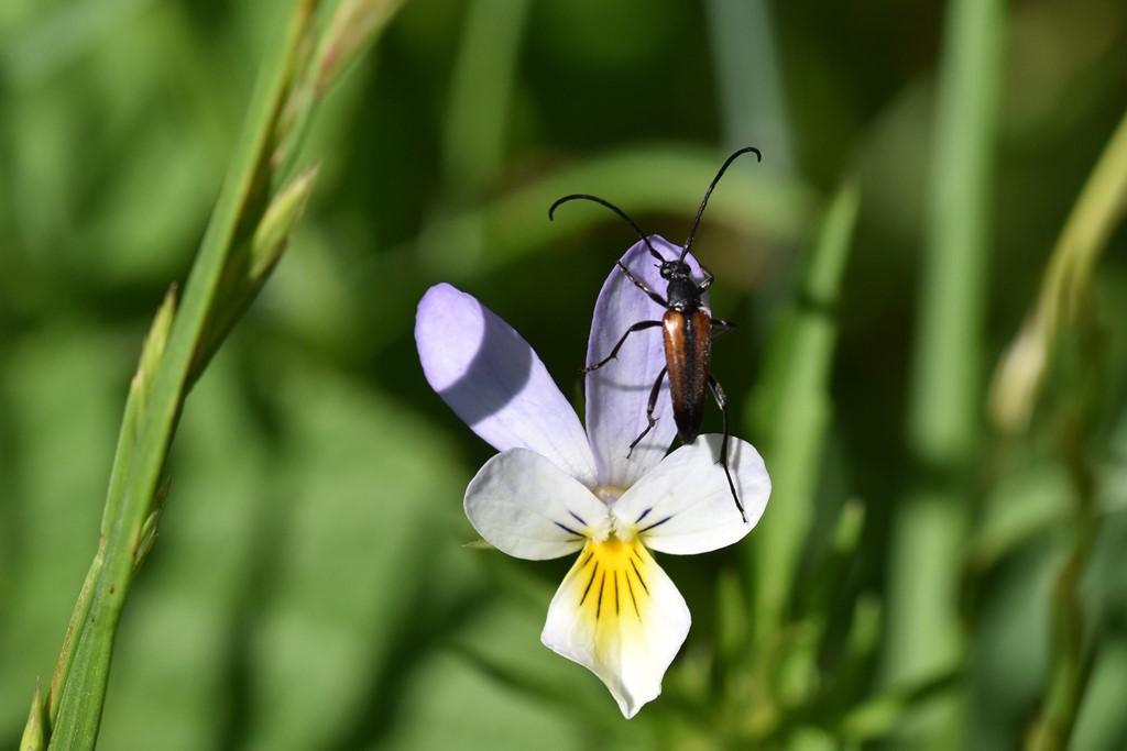 Foto/billede af Sortsømmet Blomsterbuk (Stenurella melanura)