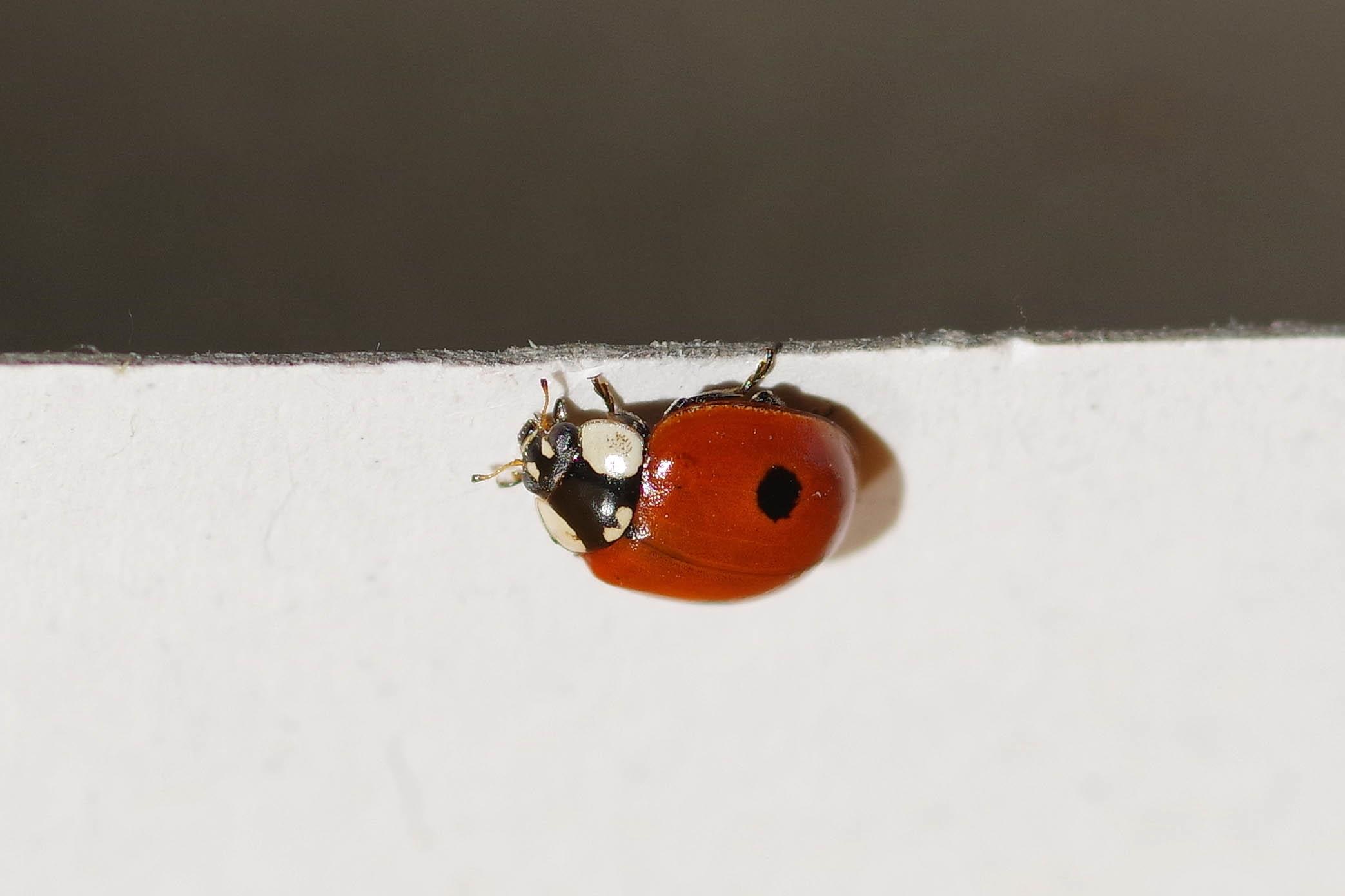 Foto/billede af Toplettet Mariehøne (Adalia bipunctata)