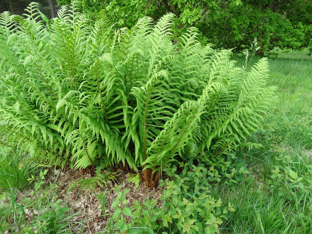 Foto/billede af Almindelig mangel�v (Dryopteris filix-mas)