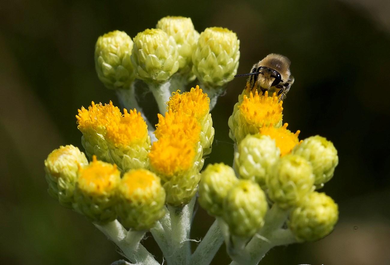 Foto/billede af Gul Evighedsblomst (Helichrysum arenarium)