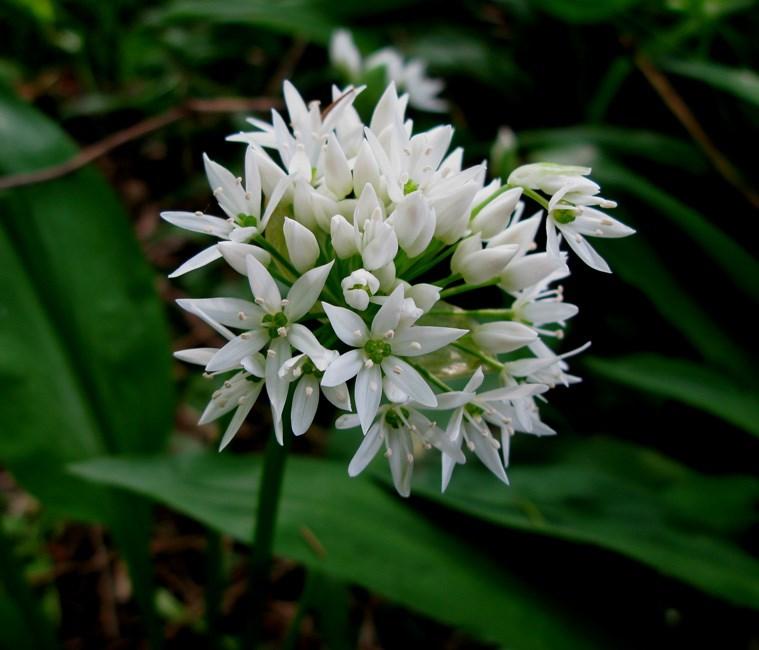 Rams-Løg (Allium ursinum)