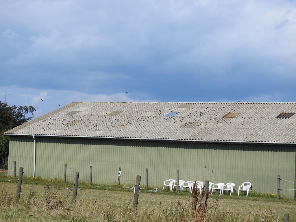 Foto/billede af Digesvale (Riparia riparia)
