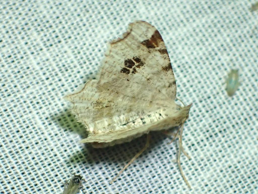 Birkeskovmåler (Macaria notata)