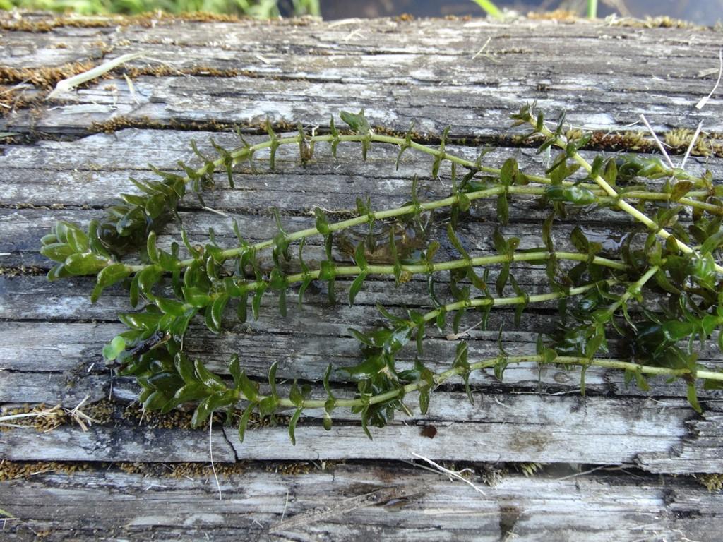 Foto/billede af Almindelig Vandpest (Elodea canadensis)