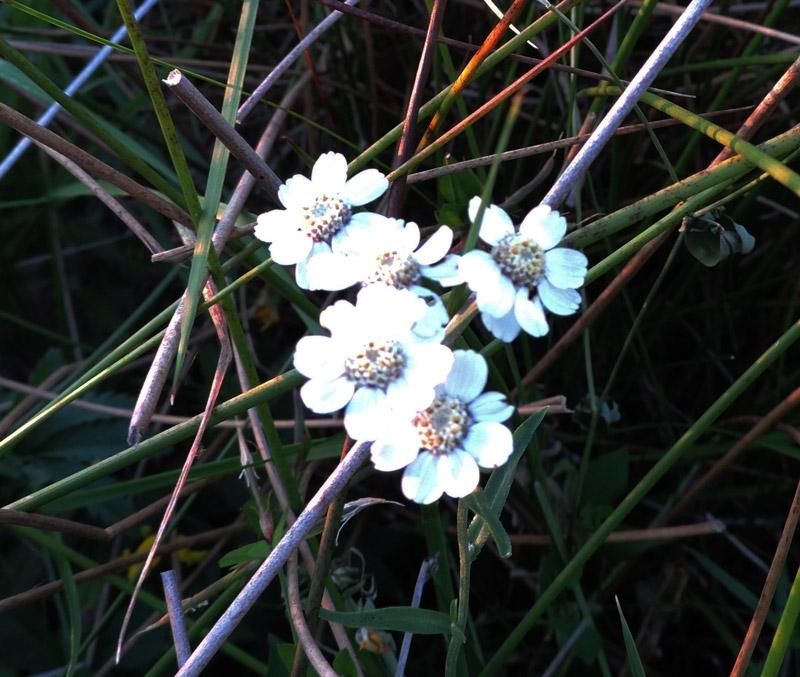 Foto/billede af Nyse-Røllike (Achillea ptarmica)