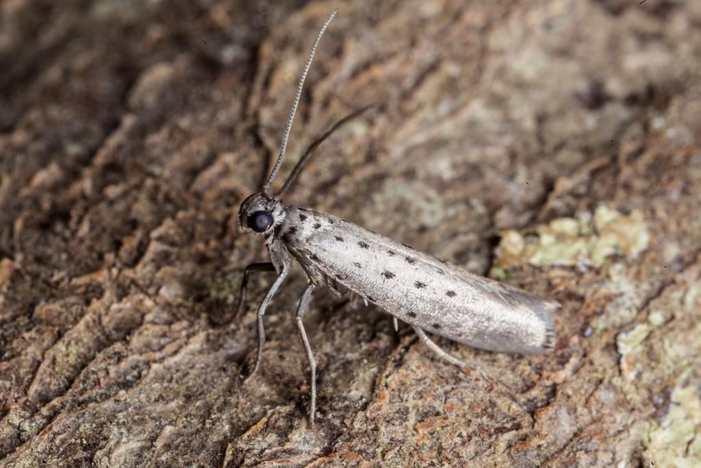 Foto/billede af Stenurtspindemøl (Yponomeuta sedella)