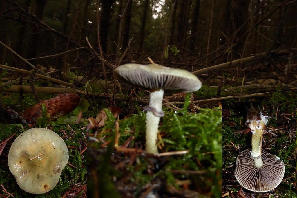 Foto/billede af Spanskgrøn Bredblad (Stropharia aeruginosa)