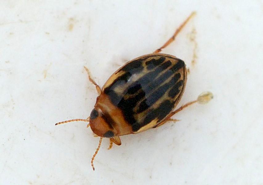 Hygrotus versicolor (Hygrotus versicolor)