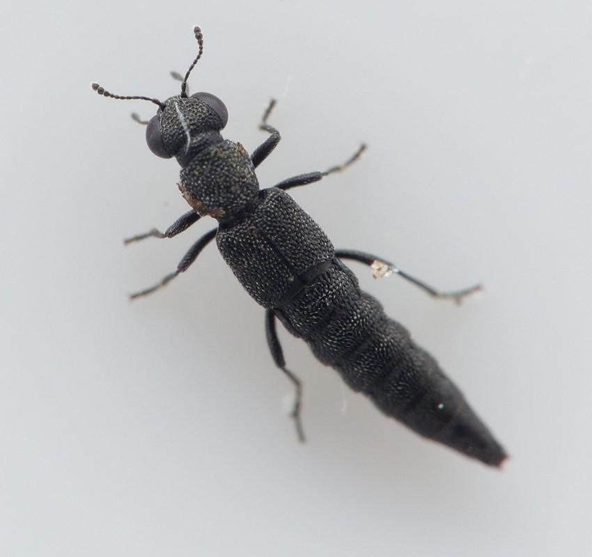 Stenus nigritulus
