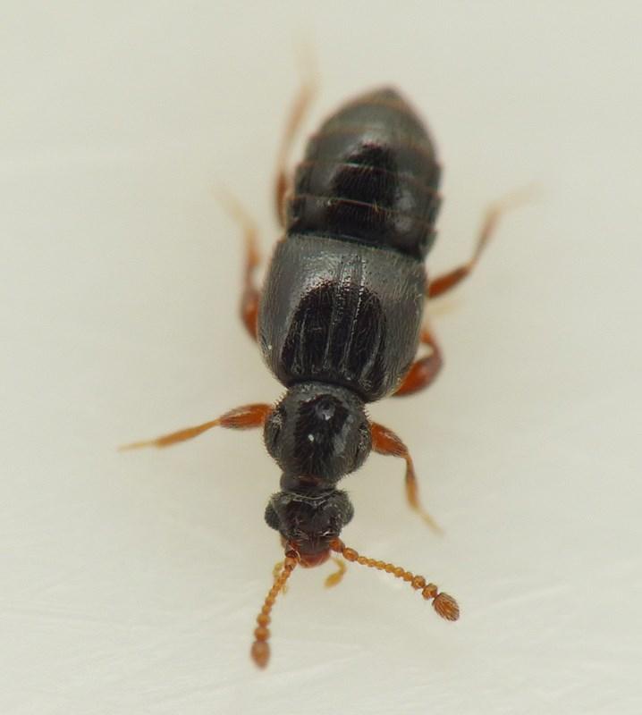 Bibloporus bicolor