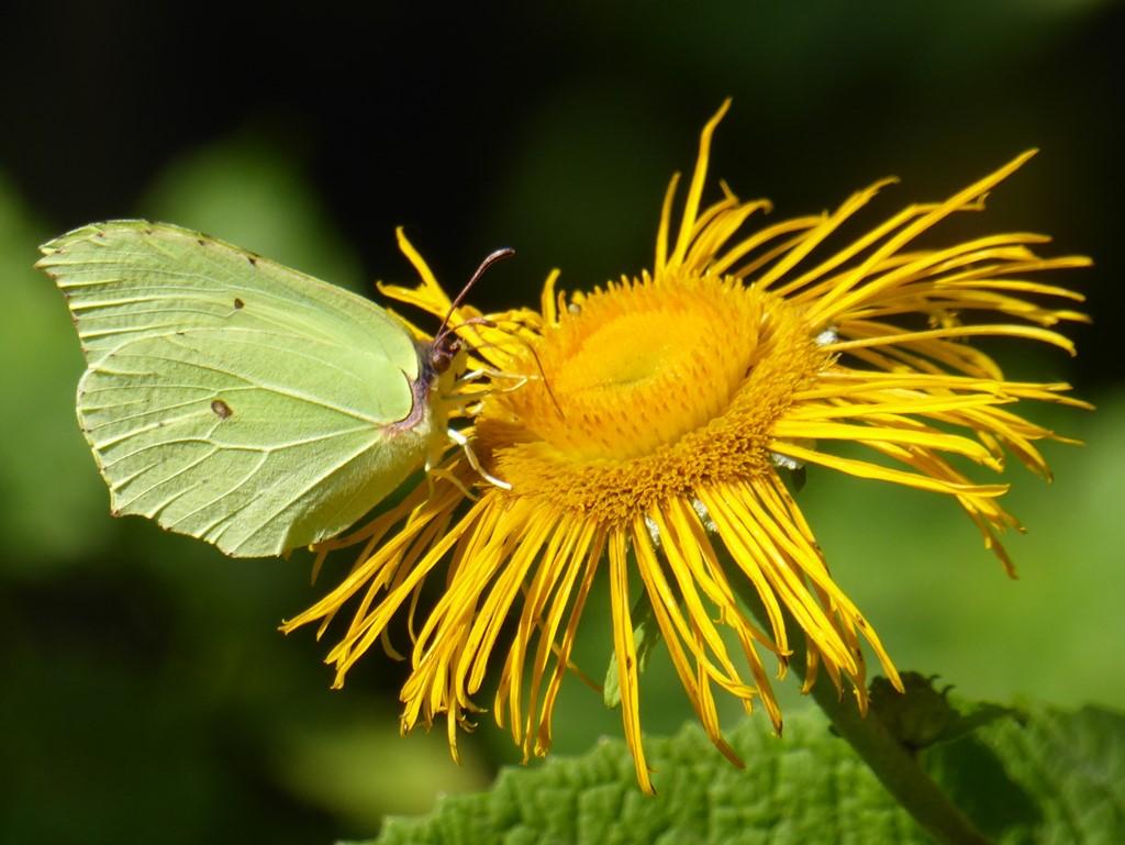 Citronsommerfugl (Gonepteryx rhamni)