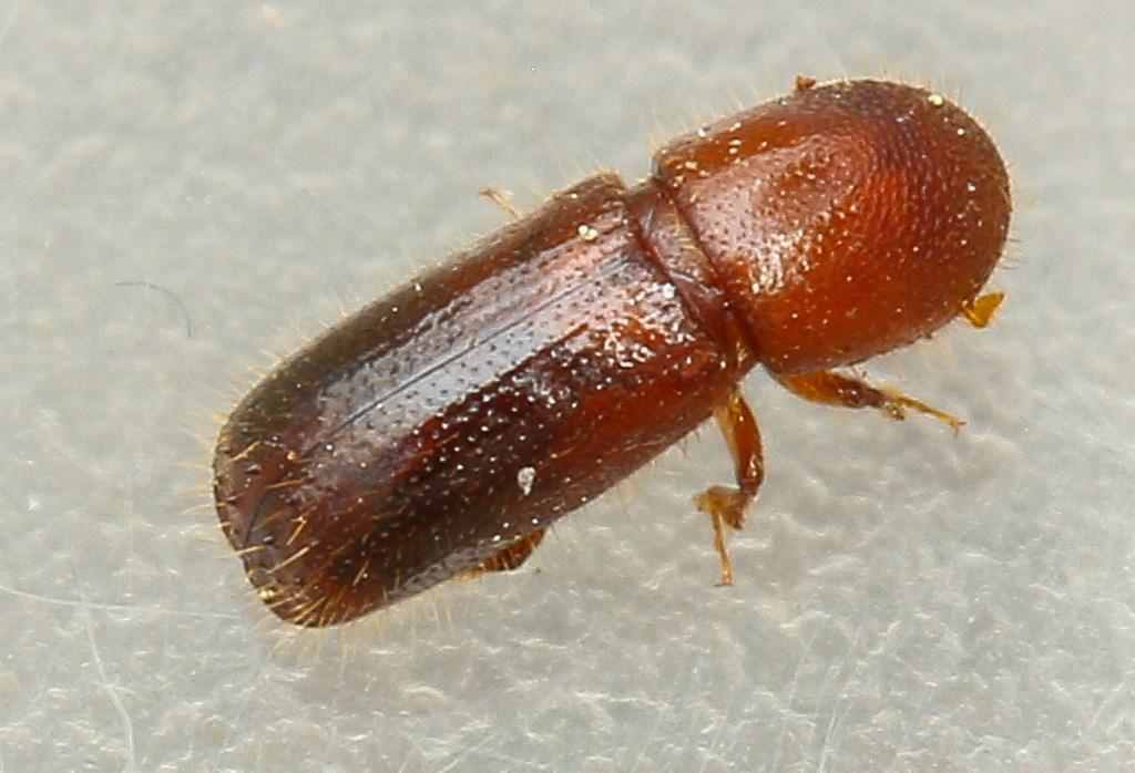 Xyleborus monographus