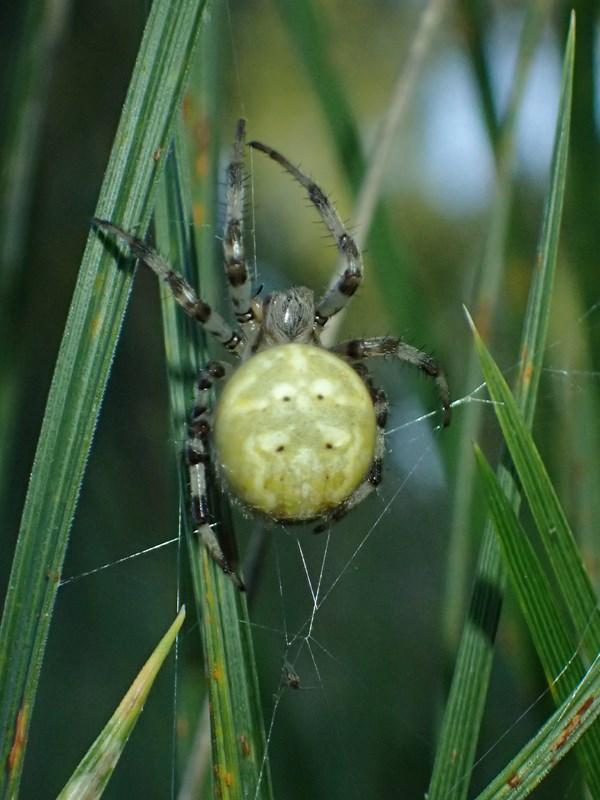 Foto/billede af Kvadratedderkop (Araneus quadratus)