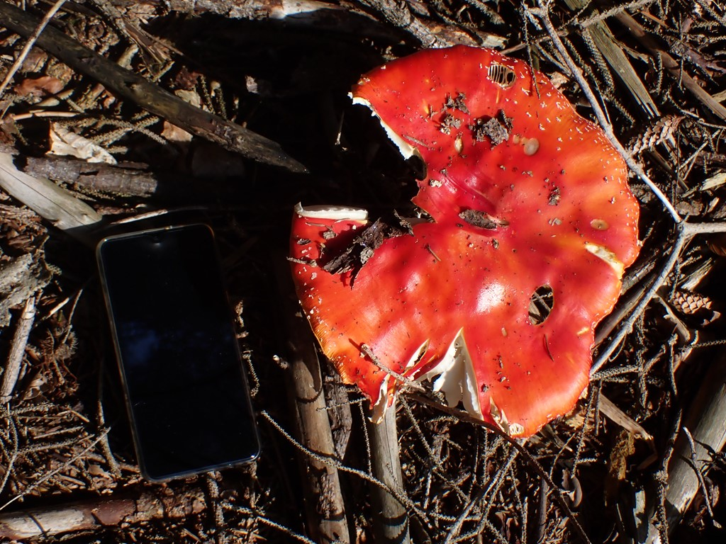 Rød Fluesvamp (Amanita muscaria)